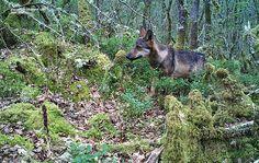 Iberian Wolf Puppy or Wolfdog mix ?? in Lugo Galicia Spain
