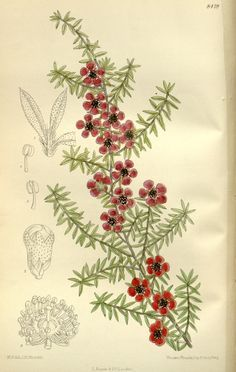 7158 Leptospermum scoparium Forster & Forster f. Nichollii / Curtis's Botanical Magazine, vol. 8419 [M. Botanical Tattoo, Botanical Illustration, Botanical Prints, Line Sketch, Natural Antibiotics, Shoulder Tattoo, Native Plants, Embroidery Art, Mother Earth