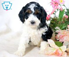She is an adorable Cockapoo puppy ready for all new adventures. This gal is a real sweetheart ready to be the center of attention everywhere you go. Cockapoo Puppies For Sale, New Adventures, Cute Animals, Dogs, Pretty Animals, Cutest Animals, Pet Dogs, Cute Funny Animals, Doggies