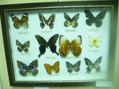 VTG Estate Find 12 Real Colorful Butterflies by HardyJewels, $38.00 (SOLD)