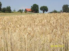 korenveld bij de Brombachsee, Duitsland