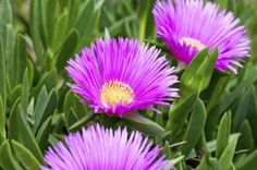 Growing Ice Plant Flowers a? How To Grow A Hardy Ice Plant Ground cover blooms summer/fall drought tolerate Succulent Landscaping, Succulent Gardening, Succulent Terrarium, Landscaping Plants, Planting Succulents, Garden Plants, Planting Flowers, Flowering Plants, Flower Gardening