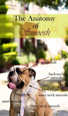The Anatomy of my English Bulldog's Smoosh. www.caninesandcouture.com…