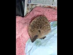 Flame Pop Off Syndrome hedgehog 4th Nov 2010