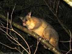 Common Brushtail Possum   Trichosurus vulpecula