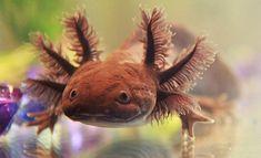 Black Melanoid Axolotl
