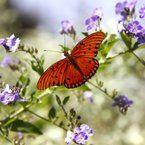 Butterflies move through Victoria, Texas