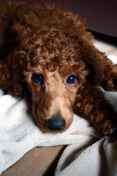 Maple Roux -a Red Standard Poodle puppy @ 8 weeks