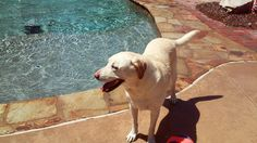 Flowery Branch, Pet Sitting Services, Dog Walking, Pet Care, Your Dog, Labrador Retriever, Pets, Animals, Labrador Retrievers