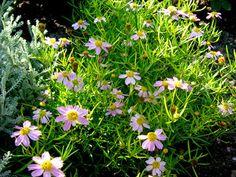 Kwiaty ogrodowe wieloletnie - nachylek okółkowy Gardening, Plants, Flowers, Lawn And Garden, Plant, Planets, Horticulture