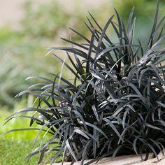 ophiopogon/ophiopogon-planiscapus-black-beard/
