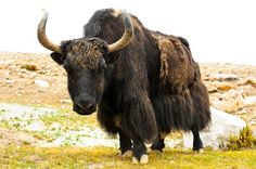 Ruminants include yaks like this one, giraffes, camels, goats, cattle, some antelopes. Photo©Getty Images