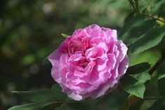 Theresa-ruusu
