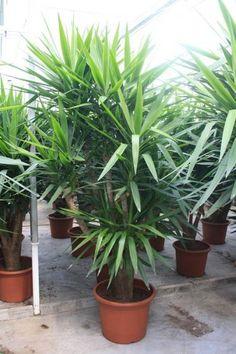 Yucca Elephantipes (Palmeelilien) kaufen? - 123zimmerpflanzen