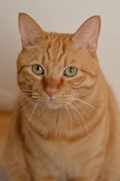 Orange tabby - Orange Cat - Ideas of Orange Cat - Orange tabby The post Orange tabby appeared first on Cat Gig. Orange Tabby Cats, Red Cat, Pretty Cats, Beautiful Cats, Curious Cat, Yellow Cat, Cute Cats And Dogs, Tier Fotos, Ginger Cats