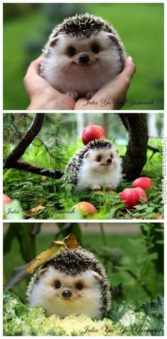 Cutest Hedgehog Ever | Click the link to view full image and description : )