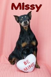 Missy Poo is an adoptable Miniature Pinscher Dog in Appleton, WI. Missy Poo: 6-9 yr old black