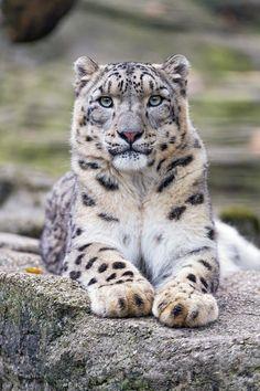 "Tambako The Jaguar: ""Beautiful  Pator lying on the rock and looking at me..."""