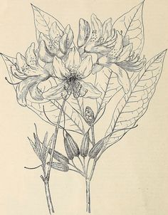 """Descriptive catalogue and price-list of native plants of the southern Alleghany Mountains including deciduous and evergreen trees, flowering shrubs, hardy herbaceous perennials, vines, orchids, ferns, (20866482132) - Search results for """"perennial illustration"""" - Wikimedia Commons"""