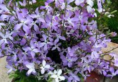 cele mai parfumate flori - Căutare Google