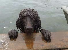 Poodles love the water! Check out our available poodles at www.poodlerescuevt.org and follow us on Facebook at https://www.facebook.com/pages/Poodle-Rescue-of-Vermont/167941746567108