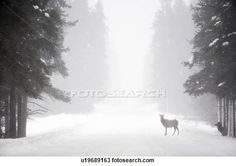 Elk snow Stock Photo Images. 756 elk snow royalty free images and photography available to buy from over 100 stock photo companies.