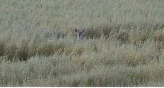 Valkohäntäpeura makuulla keskellä peltoa. White-tailed deer lying on a middle of the field.