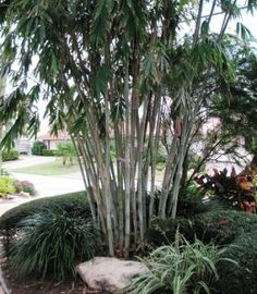 Willowy green clumping bamboo, which is cold hardy and non-invasive.  New growth is white and becomes a soft beige-green as it ages.  Grows t only about 12 ft.  Want!
