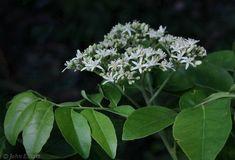 Coelospermum reticulatus open shrub with fragrant small white lime berry micromelum minutum a dense shrub or small tree 2 mightylinksfo Gallery