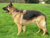 perro de marga