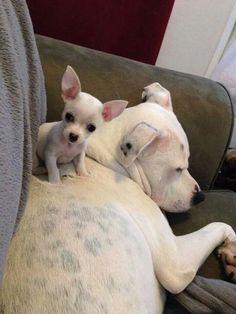 """Do you like my bed?"" Chihuahua and pitbull. #Chihuahua"