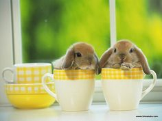 Holland Lop Bunnies...I had one named Snickers several years back.  She was FABULOUS.