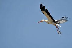 Adebars flight
