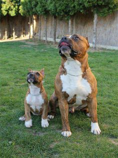 Pit bull and Mini me!