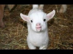 Baby Goats - Funny And Cute Baby Goats Compilation [BEST OF] - YouTube