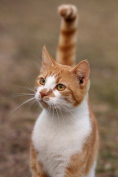 orange tabby cat. I like the unique coloring on the face, the angle of the cat and the relaxed look in the eyes.