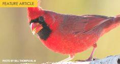 How Well Do You Know the Northern Cardinal?
