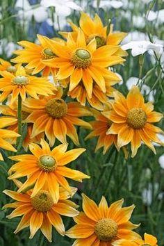 "Rudbeckia hirta 'Prairie Sun' - lovely variety of ""Black Eyed Susans"" - only with green eyes. Love flowers that look like the sun. Yellow Flowers, Wild Flowers, Beautiful Flowers, Colorful Roses, Black Eyed Susan, Ikebana, Dream Garden, Garden Inspiration, Flower Shops"
