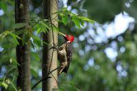 carara national park wood pecker   - Costa Rica