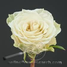 Rose - Cream Prophyta