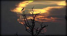 Brown Snake Eagle on #safarilive 1-23-17 @revealed_africa