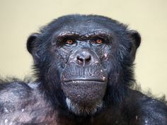 Chimps Outplay Humans in Brain Games -There are ways that chimpanzees are more intelligent than us... part of a study in 2007, impressively captures the eidetic memory of a 2-year old chimp as he played a memory masking game. It makes jaws drop to see him memorize random numerical patterns within 200 milliseconds, about half the time it takes for the human eye to blink. Memory of such incredible precision is rare in human babies and close to absent in adults..