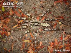 Endangered Species of the Week: Rameshwaram parachute spider