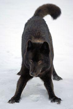 Playful Black wolf. - Natures Doorways