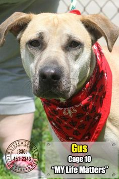 Meet 10 Gus, a Petfinder adoptable Shar Pei Dog | Canton, OH | Update 7/17:  Gus decided life looked better outside of his cage, and ventured out.  We found this...