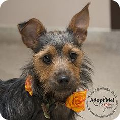 Ruby - URGENT - Miami County Animal Shelter in Troy, Ohio - ADOPT OR FOSTER - Adult Female Terrier Mix