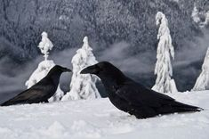 VERY Cool (Literally!!) Photo of Ravens!! Love the Trees!! by......??