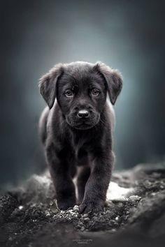 Black Labrador Retriever Puppy #labradorretriever