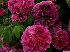 'Charles de Mills' Rose Photo
