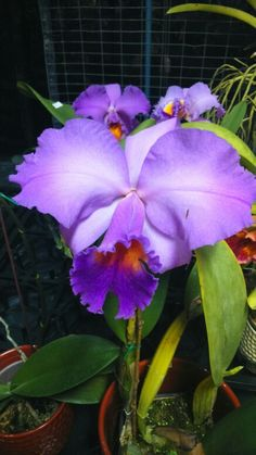 Religious Magic And Spiritual Ability Element One Tropiflora 2015 Cattleya Tropical Flowers, Exotic Flowers, Beautiful Flowers, Orchid Leaves, Orchid Plants, Purple Orchids, Purple Flowers, Flower Plant Images, Orquideas Cymbidium